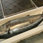 春のサワラ漁が解禁1