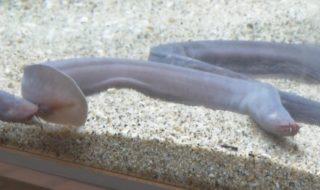 「城崎マリンワールド」で展示されている古代生物「ヌタウナギ」