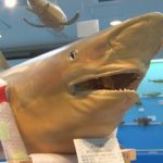 0913サメのはく製00000000